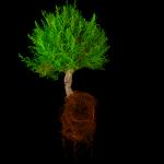 Grüner Baum, rote Wurzeln
